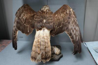 Bird specimen - Kahu