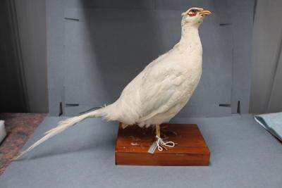 Bird specimen - Pheasant