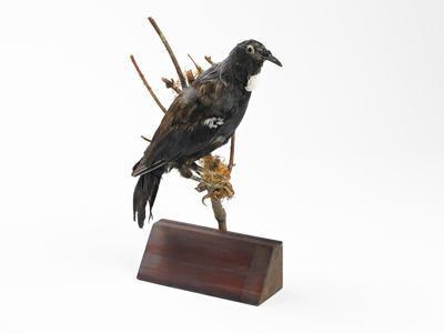 Bird specimen - Tui