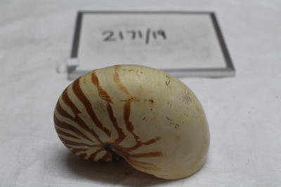 Pearly Nautilus Shell