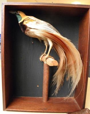 Bird specimen - Bird of Paradise