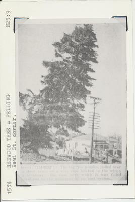 Redwood Tree Felling