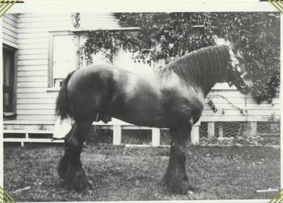 William M. Taylor's Draught Horse