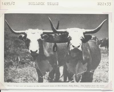 Bullock Teams